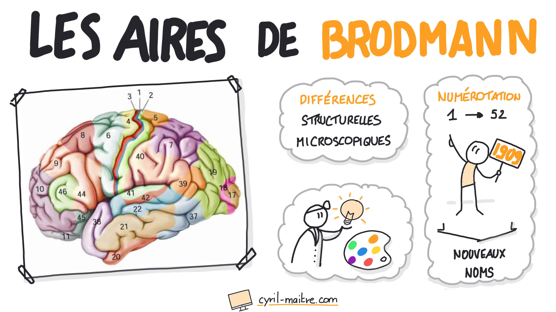 Les aires de Brodmann - les neurosciences en dessins