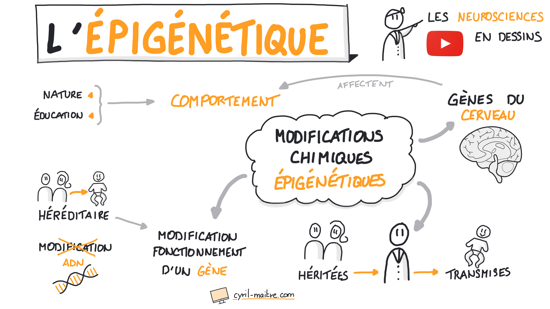 L'épigénétique - les neurosciences en dessins