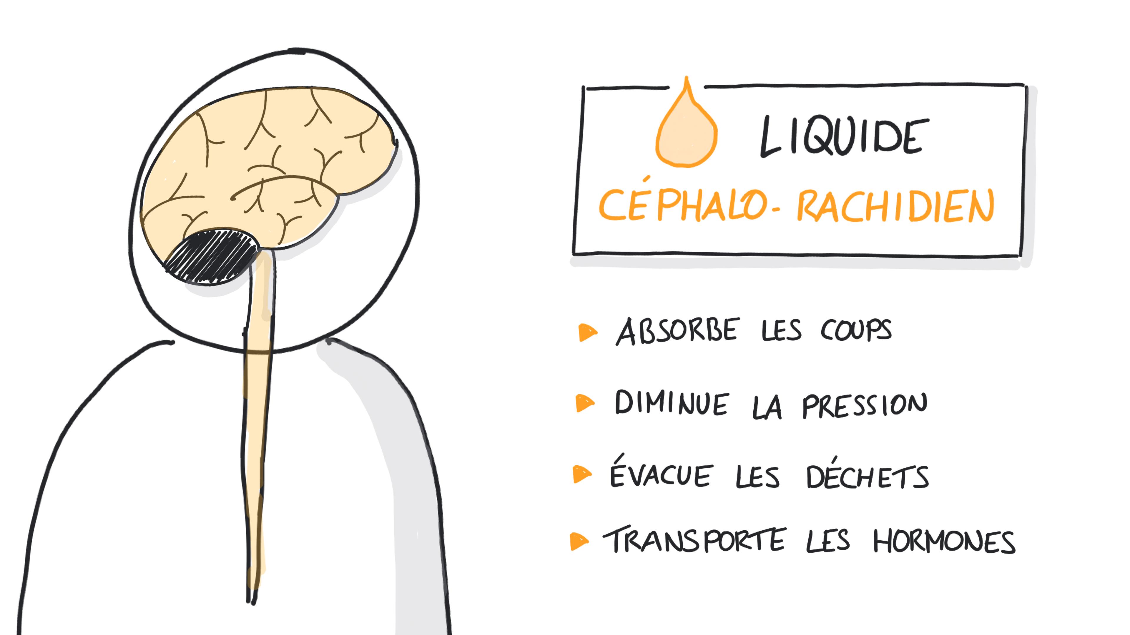 Le rôle du liquide céphalo-rachidien