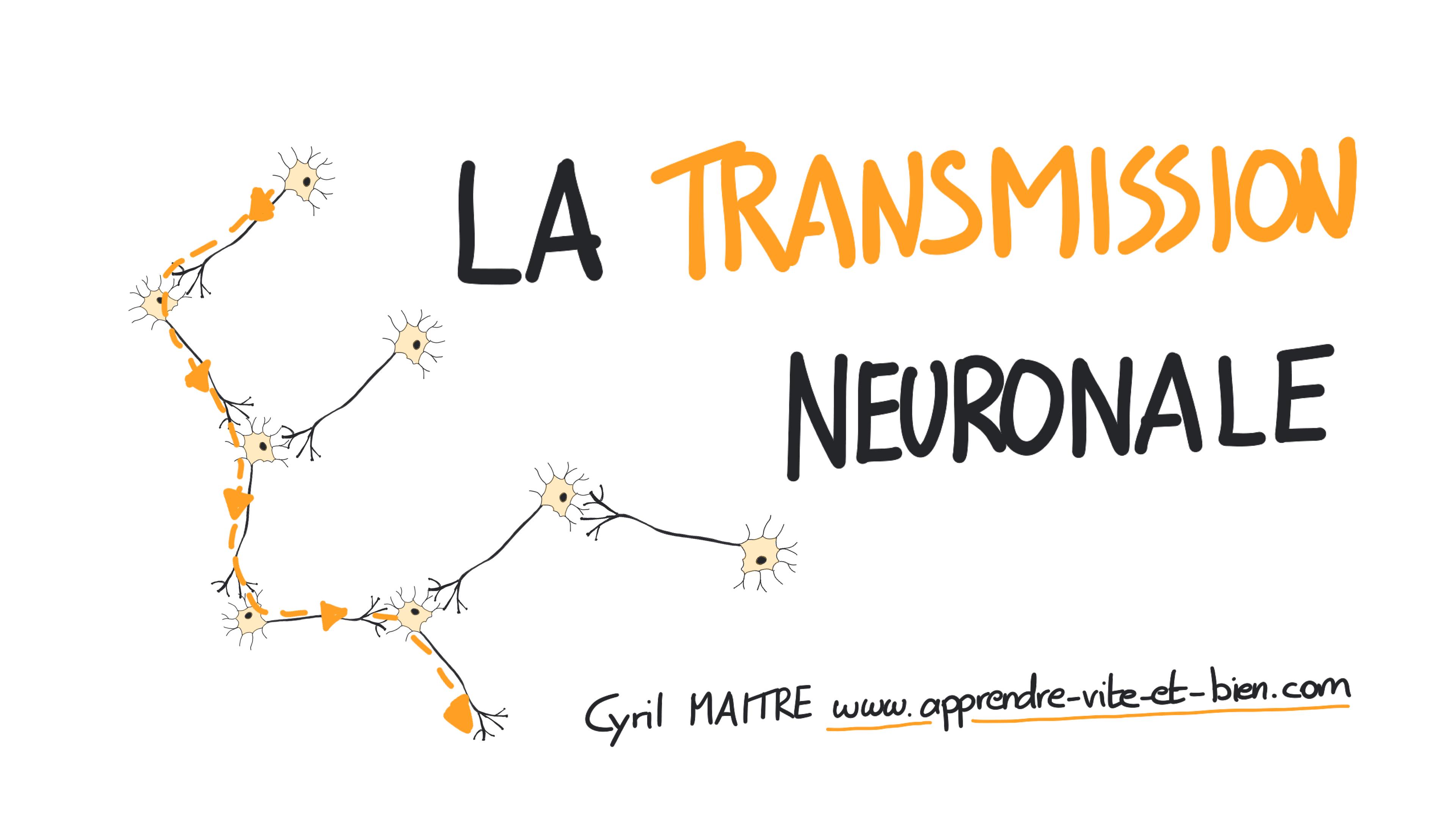 La transmission neuronale