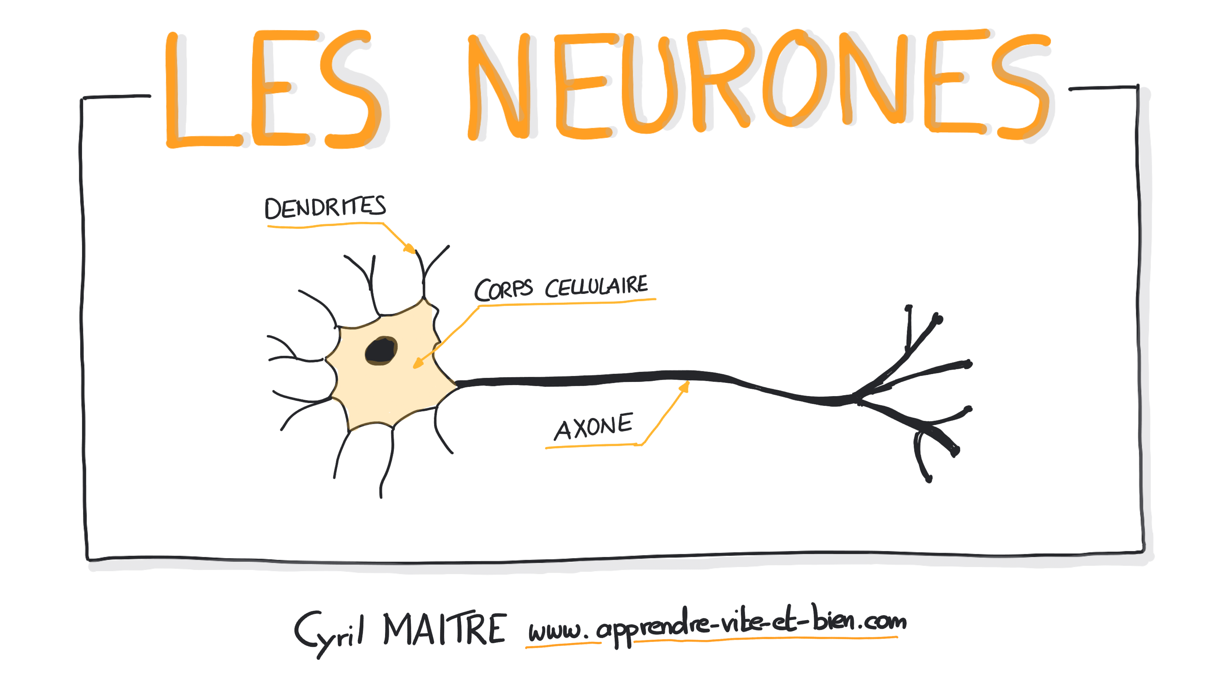Présentation de la vidéo 'Les neurones'