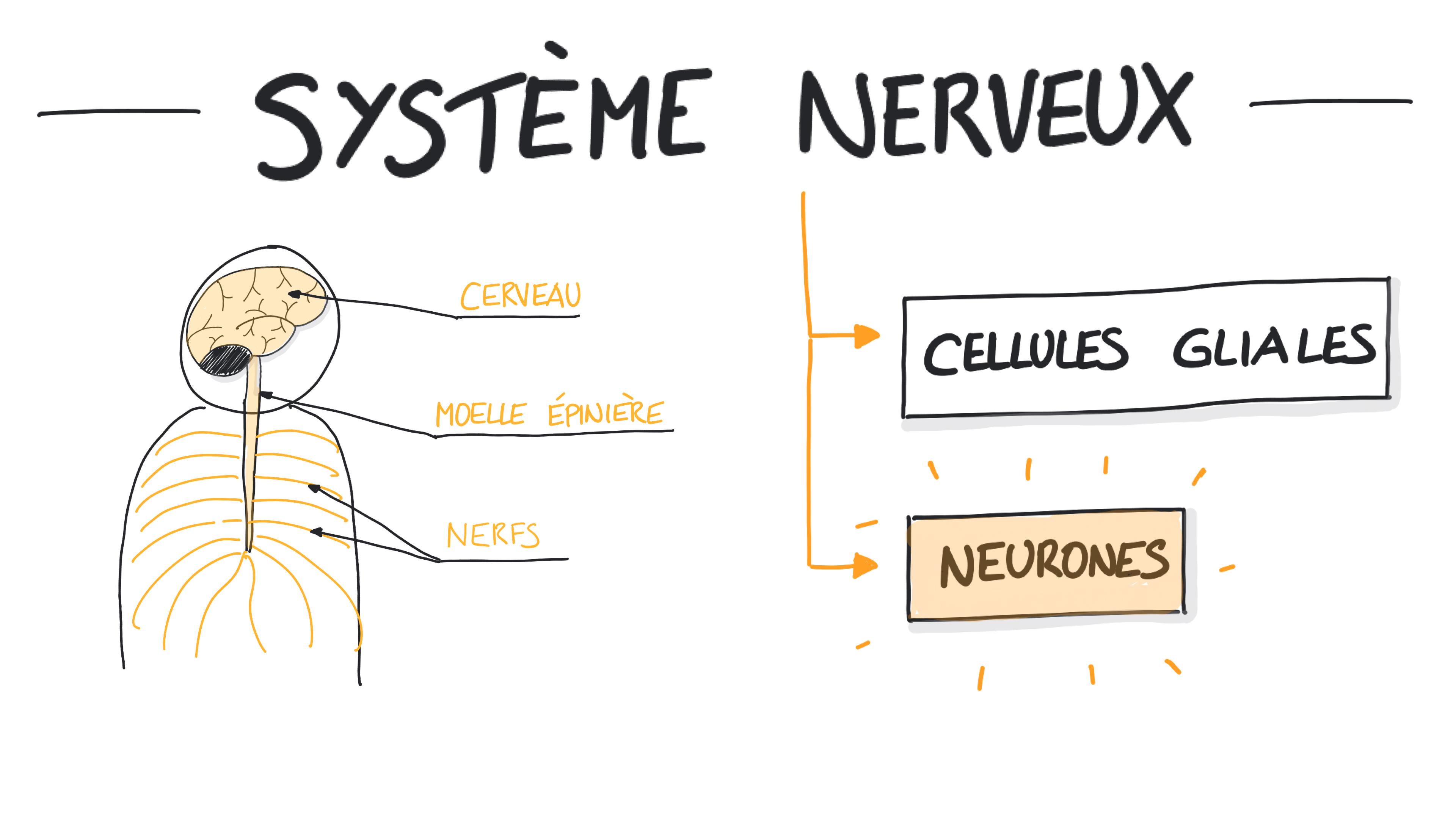 Les cellules du système nerveux