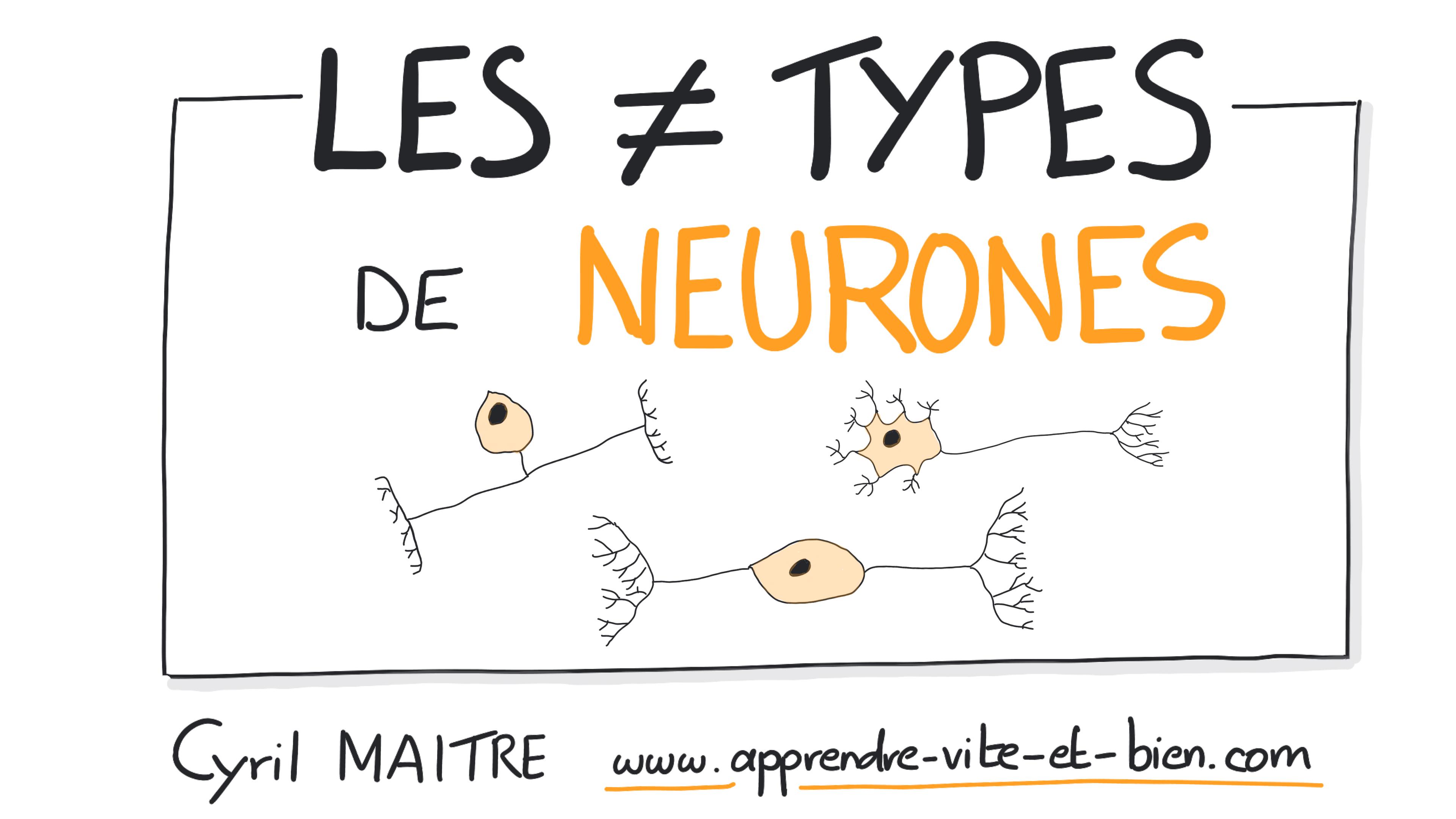 Les différents types de neurones