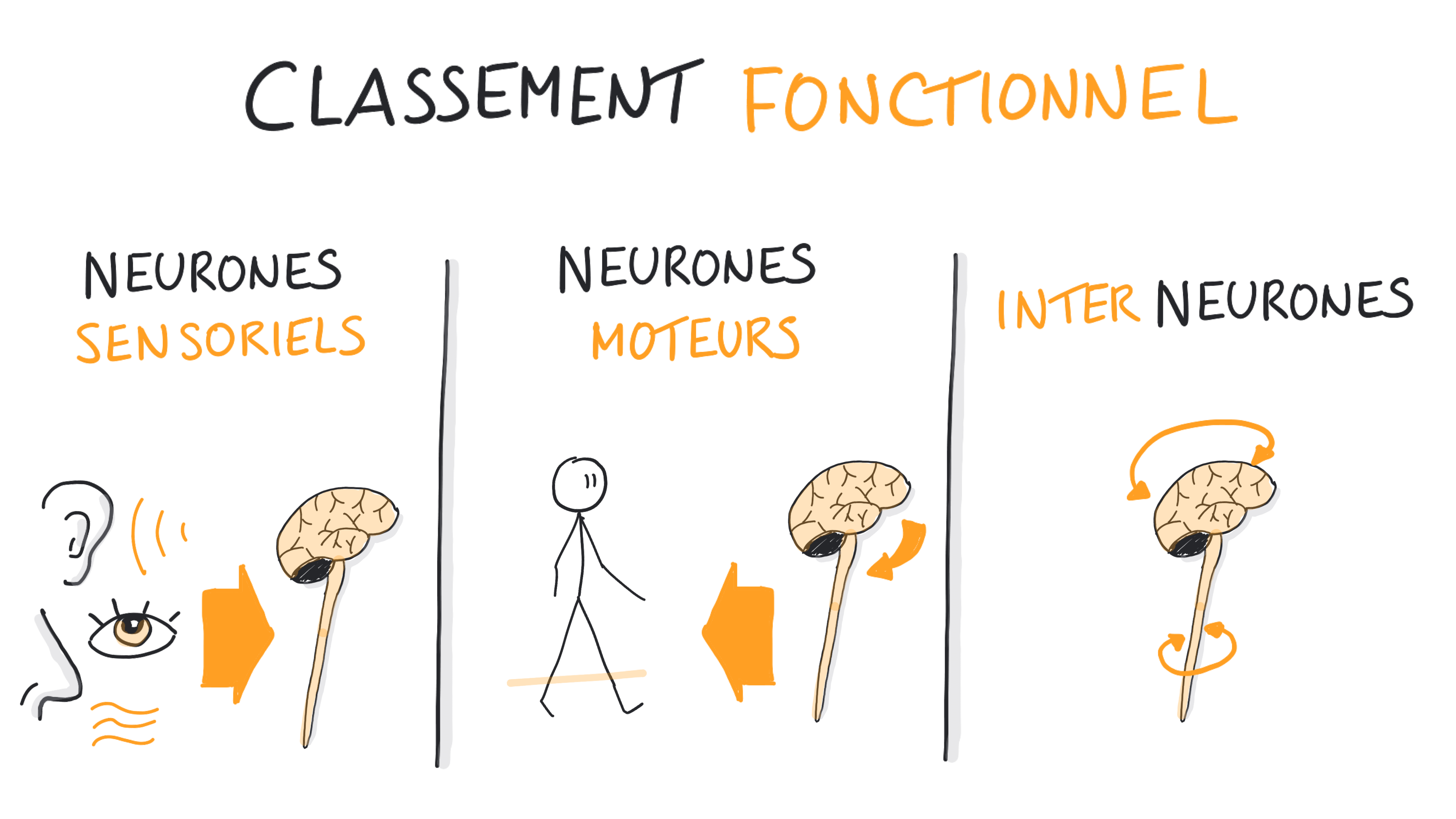 Classification foctionnelle