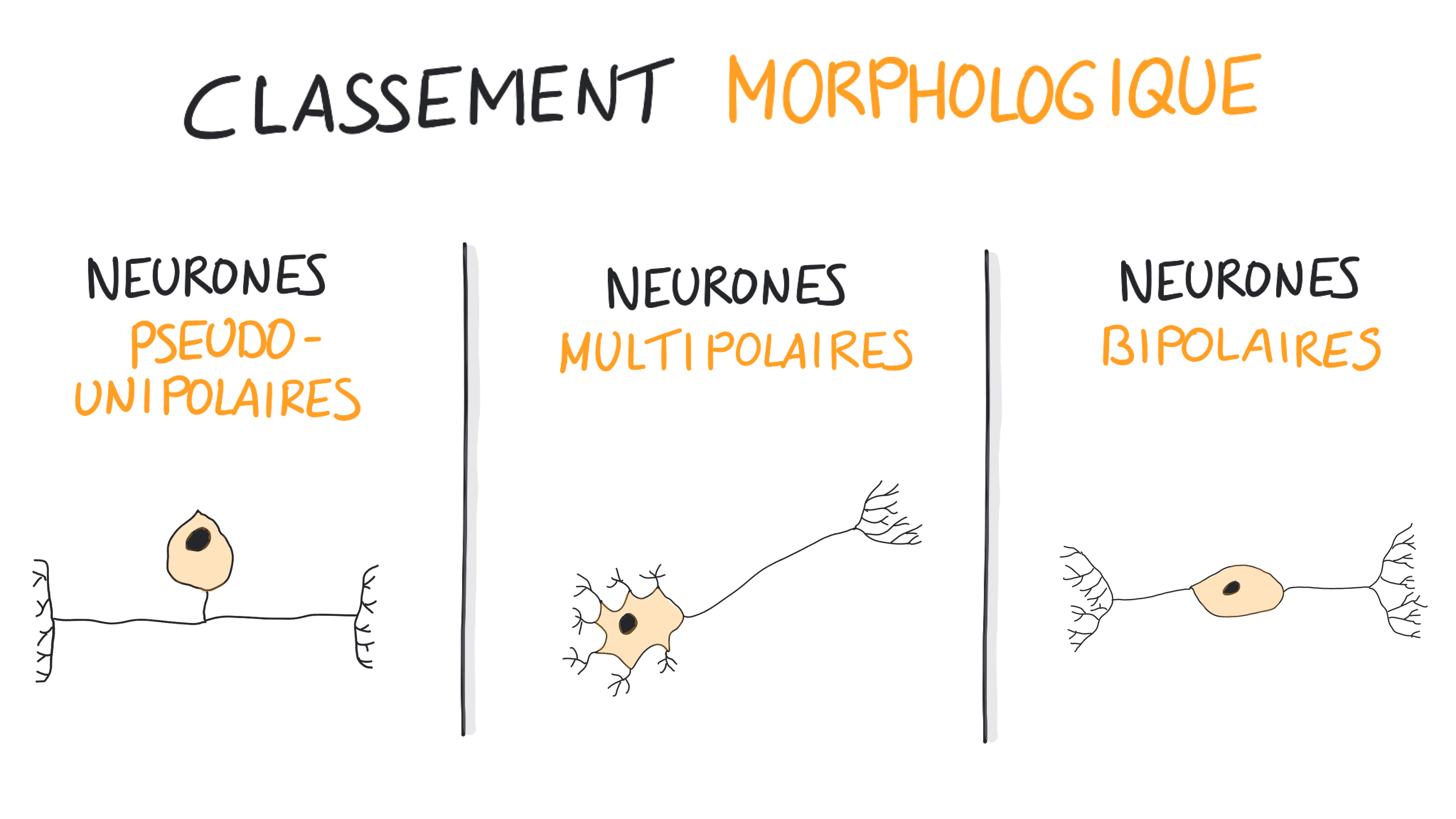Classification morphologique