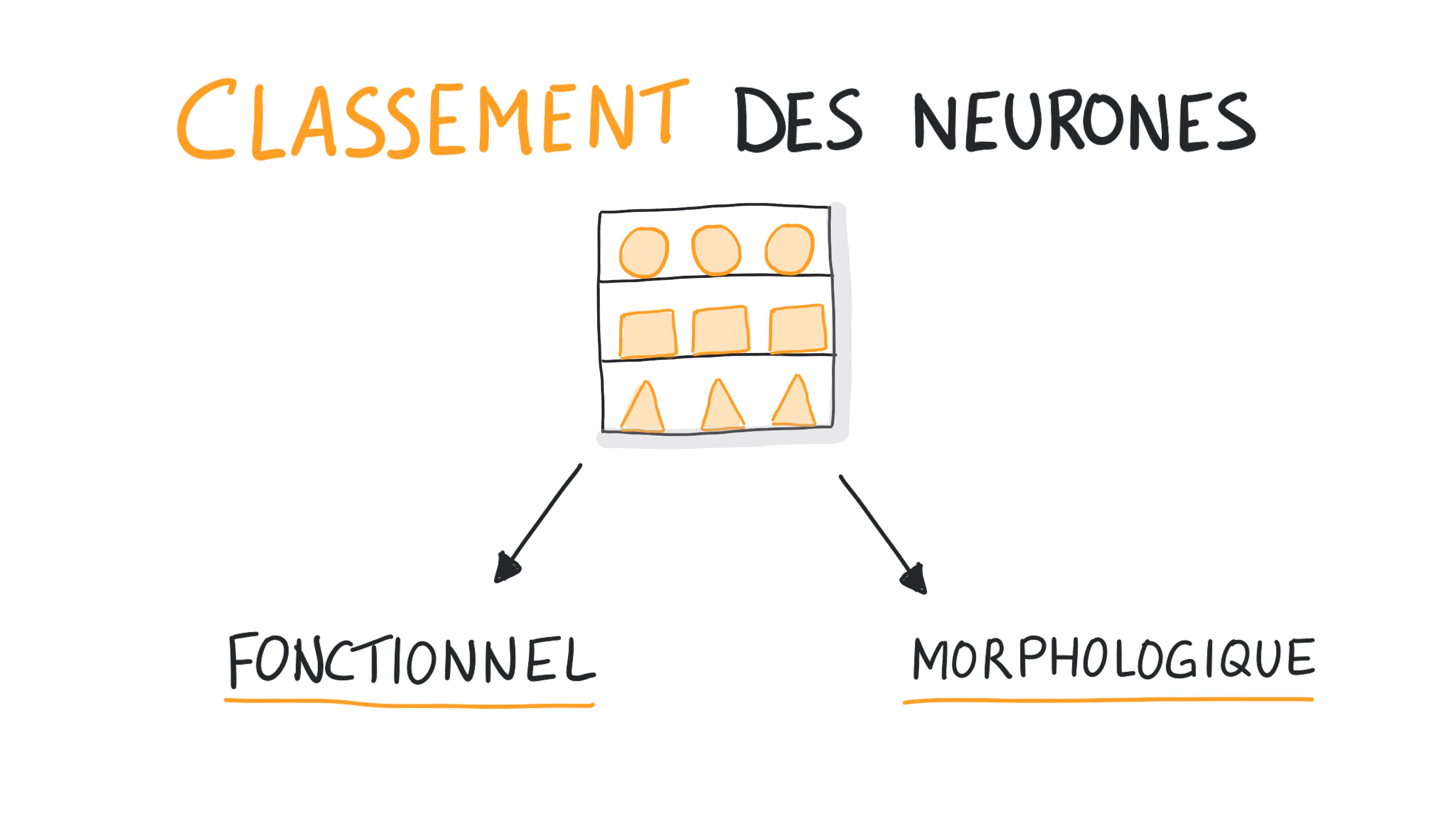 Classement des neurones