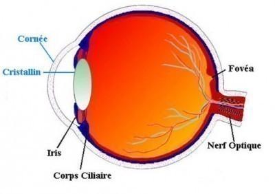 coupe transversale oeil