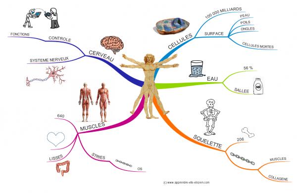 Carte mentale réalisée avec imindmap sur le corps humain.