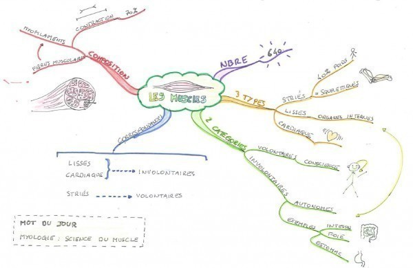 Mind map sur les muscles.